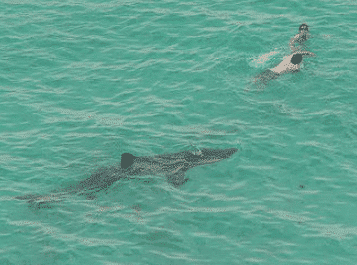 un nageur crawl devant un requin